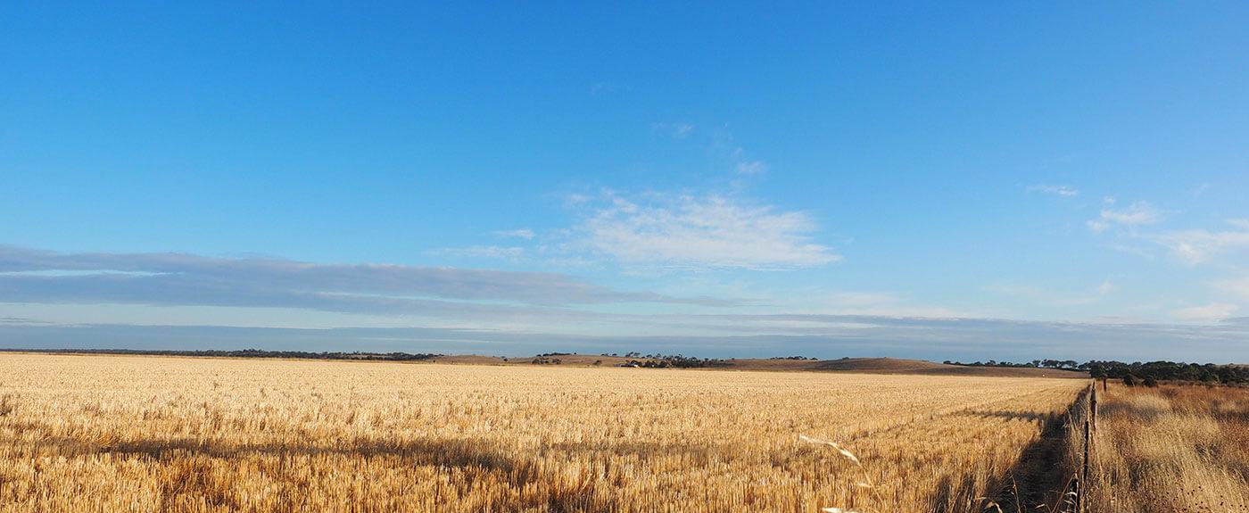 wheat paddocks in Victoria